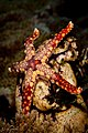 Peppermint sea star, turkey beach, wakatobi, 2018 (30873110357).jpg