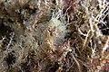 Perophora listeri B181634.jpg