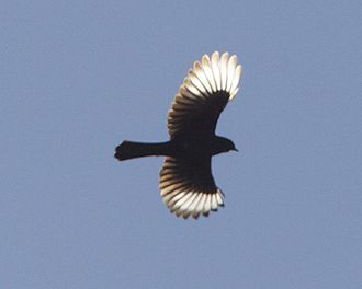 Phainopepla - Male in flight showing white wing patches