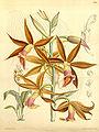 Phaius wallichii - Curtis' 114 (Ser. 3 no. 44) pl 7023 (1888).jpg