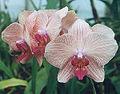 Phalaenopsis-Nivacolor.jpg