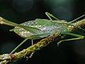 Phanerophterinae Engonia sp - Carlos Botelho.jpg