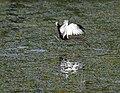 Pheasant-tailed Jacana (Hydrophasianus chirurgus) in Hyderabad W IMG 8351.jpg