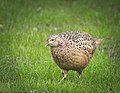 Pheasant hen (34153851765).jpg