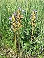 Phelipanche purpurea sl29.jpg
