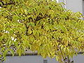 Phellodendron amurense1.jpg