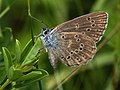 Phengaris alcon f.rebeli - Mountain Alcon blue - Голубянка алькон (26162789407).jpg
