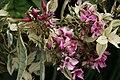 Phlox paniculata Rubymine 2zz.jpg