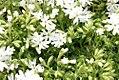 Phlox subulata Snowflake 0zz.jpg