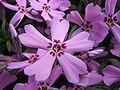 Phlox subulata flower.jpg