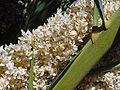 Phoenix canariensis B.jpg