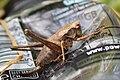 Pholidoptera griseoaptera - dark bush cricket.JPG
