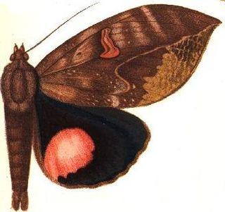 <i>Phyllodes consobrina</i> species of insect