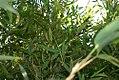 Phyllostachys dulcis 1zz.jpg