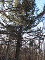 Picea alcoquiana.jpg