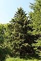 Picea schrenkiana Rogów.JPG