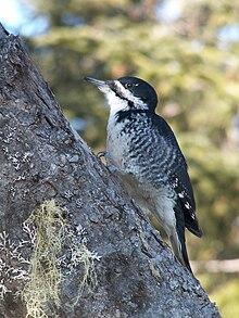 Black Backed Woodpecker Wikipedia
