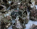 Picoroco's (Crustacean of Chile)DSC00014.JPG