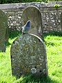 Pigeon on headstone - geograph.org.uk - 1269132.jpg