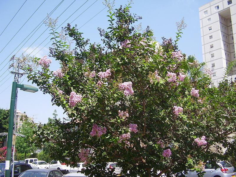 File:PikiWiki Israel 20886 Lagerstoemia indica.JPG