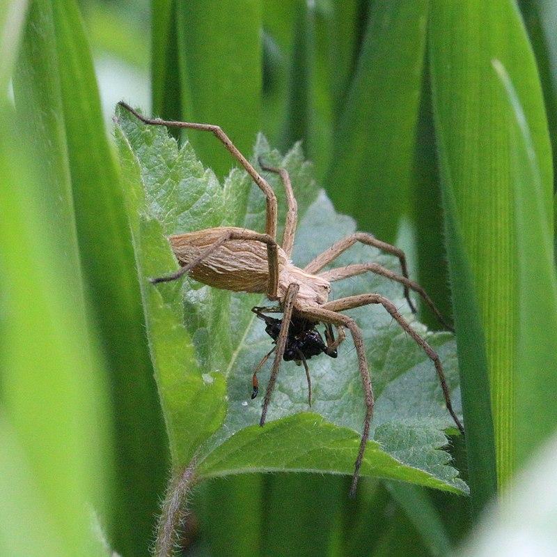 עכביש אוכל
