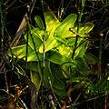 Pinguicula vulgaris subsp. bicolor - folia 03.jpg