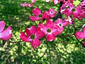 Pink-dogwood-2-04242008 - West Virginia - ForestWander.jpg
