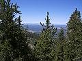 Pinus aristata Humphreys2.jpg