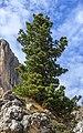 Pinus cembra 002.jpg