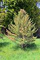 Pinus koraiensis 2 (arboretum du vallon de l'Aubonne).JPG