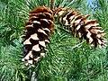 Pinus monticola opencones.jpg