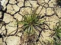 Plantago coronopus - Sebkhat Kelbia nahe Kondar Tunesien Ende April 2009.jpg