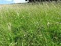 Platanthera chlorantha 16.jpg