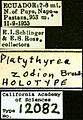 Platythyrea zodion castype12082 label 1.jpg