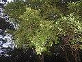 Pleurostylia opposita-1-chemungi-kerala-India.jpg
