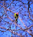 Plum-headed Parakeet (Psittacula cyanocephala) (20463032716).jpg