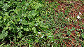 Plumbago zeylanica in Anantgiri, AP W IMG 8887.jpg