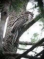 Podargus ocellatus -Papua New Guinea-6.jpg