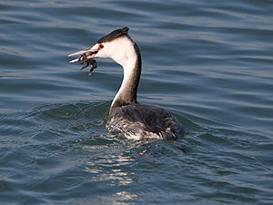 Podiceps cristatus (eating crab).jpg