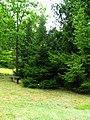 Podlaskie - Suprasl - Kopna Gora - Arboretum - Picea orientalis - plant.JPG