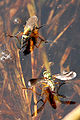 Poecilobothrus.nobilitatus3.-.lindsey.jpg