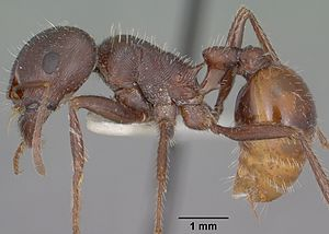 English: Profile view of ant Pogonomyrmex rugo...