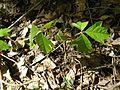 Poison Ivy 094.jpg