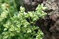 Polycarpon tetraphyllum kz8.jpg