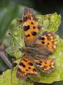 Polygonia c-album (Nymphalidae) (7124719309).jpg