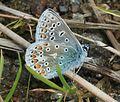 Polyommatus icarus (Common blue) - Flickr - S. Rae (1).jpg