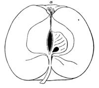 pomologische monatshefte 1 band 4 heft ueber den unterschied zwischen apfel birne und quitte. Black Bedroom Furniture Sets. Home Design Ideas