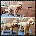 Poodle style.jpg