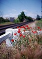 Poppies At The Station (158030383).jpeg