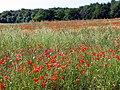 Poppies in Fallow Field - geograph.org.uk - 21191.jpg